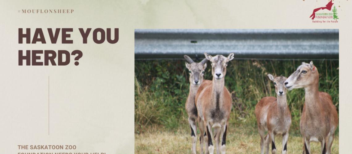 Mouflon Sheep Saskatoon Zoo Foundation